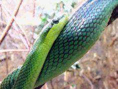 Great Snake pic from Zoo Atlanta fan, Gail L.