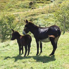 Burros en Cantabria. Proyecto de reforestación de bosque atlántico #cantabria #burros