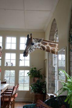 Giraffe Manor, in Nairobi. For Tessy.