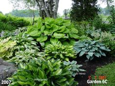 a true inspiration and i sadly wasnt around when he was posting..his website is sadly gone but managed to find some of his pictures..hope his family wont mind me posting these as they show what can be done using great combinations of hostas