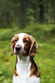 Welsh Springer Spaniel ~ Classic Look & Trim Welsh Springer Spaniel, Clumber Spaniel, English Springer Spaniel, Spaniels, All Dogs, I Love Dogs, Best Dogs, Cute Dogs, D Is For Dog