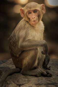 Rhesus macaques from Ranthambore Tiger Reserve, India