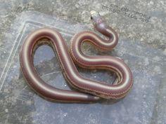 Lampropeltis getulus californiae Hypo Lavender Striped from Vaclav Chadima http://www.snakes.nafoceno.cz/ https://www.facebook.com/snakes.nafoceno