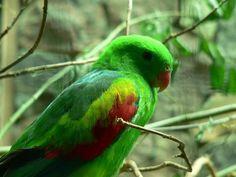 Jonquil Parrot(Aprosmictus jonquillaceus)