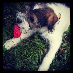 heididahlsveen:  Give the #balloon back its life #atsjoo #puppy #valp #hund #dog