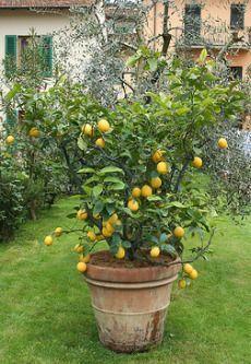 How to grow a lemon tree - indoors and outdoors. I always wanted a lemon tree. Fruit Garden, Edible Garden, Vegetable Garden, Amazing Gardens, Beautiful Gardens, Beautiful Gorgeous, How To Grow Lemon, Pot Jardin, Fruit Trees