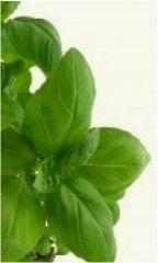 ALBAHACA http://www.plantas-medicinal-farmacognosia.com/productos-naturales/albahaca/