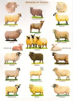 Sheep breeds in United Kingdom