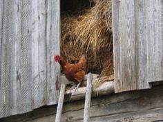 En los últimos años las gallinas están colonizando las ciudades por su condición de mascotas productivas, ya que son múltiples los beneficios que nos