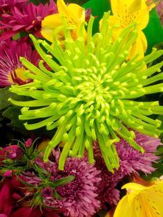 Crisantemo flowers