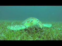 Female Green Turtle Lora at Culebra Island, Puerto Rico, HD, Captured by...