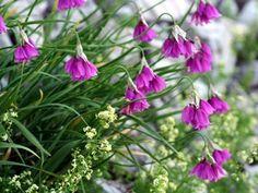 Allium insubricum AGM - medium image 1