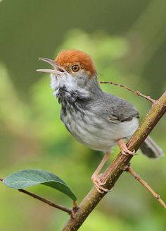 Cambodian tailorbird (orthotomus chaktomuk), japantimes.co.jp: A new species of bird with a distinctive orange-red colored tuft of feathers on its head has been found in Phnom Penh. The small bird, which has a black-feathered throat and is the size of the more common wren, lives in thick, lowland scrub in Phnom Penh and other sites in the nearby floodplain, which the Wildlife Conversation Society said had kept it concealed for so long.  #Cambodian_tailorbird