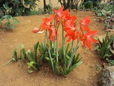 Flores Assucenas