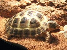 Russian Tortoise!!!! I'm getting one as soon as we are settled!!!