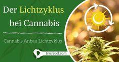 Soweit sollte jeder wissen, dass man Licht benötigt, um Cannabis-Pflanzen wachsen lassen zu können bzw. anzubauen, aber wie viele Menschen verstehen tatsächlich, wie sich das Licht auf das Pflanzenwachstum auswirkt? Es kann ein etwas komplexes Thema sein, aber wir werden uns bemühen es in diesem Artikel so klar und einfach wie möglich zu halten. Wir werden darüber sprechen, wie sich Licht auf das Wachstum und die Entwicklung von Cannabis auswirkt ....