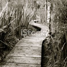 Boardwalk through Harakeke (NZ Flax) & Silver Beech (Nothofagus Menziesii) Royalty Free Stock Photo Images Of Peace, Wooden Path, Photography For Sale, Image Now, Pathways, Serenity, Monochrome, Zen, Royalty Free Stock Photos