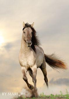 Gray Bashkir stallion by mari-mi. Beautiful running horse.