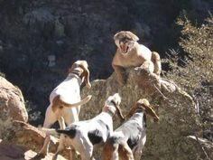 Mountain lion hunting in Texas Mountain Lion Hunting, Elk Hunting, Walker Hound, Predator Hunting, Treeing Walker Coonhound, Hunting Girls, Dog Games, Dogs And Puppies, Big Dogs