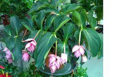 Planta usor de intretinut care are nevoie de lumina multa fara sa fie expusa direct in soare.Pamantul se mentine umed in perioada de crestere.Frunzele se pulverizeaza frecvent cu apa.Se aplica un ingrasamant lichid bogat in potasiu.