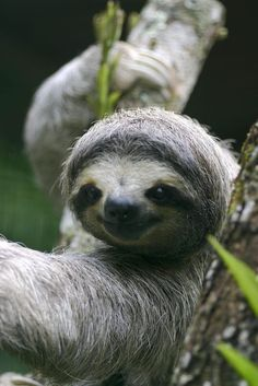 #Sloths Visit our page here: http://what-do-animals-eat.com/sloths/