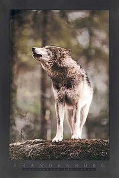 """Wolf Song"" by Jim Brandenburg"