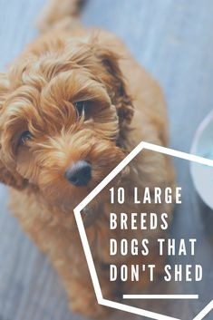We take a look at 10 Large Dog Breeds that Don't Shed and 5 Breeds that Shed Less than normal. that dont shed 10 Large Breed Dogs that Don't Shed and 5 that Shed Less than Normal Non Shedding Dogs Large, Low Shedding Dog Breeds, Big Dogs, Large Dogs, Small Dogs, Dogs And Puppies, Doggies, Large Dog Breeds, Best Dog Breeds