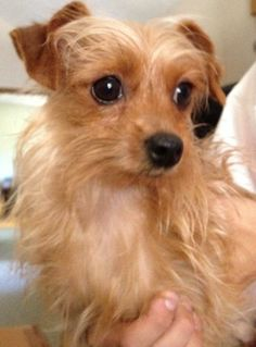 You can fill out an adoption application online on our official website.Percy is an adorable 4 lbs yorkie mix boy. He is sure to make you laugh! He loves the kids he lives with. The minute he finishes eating his breakfast, he zooms to the boys rooms...