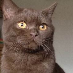 Chocolate British Shorthair #cat #kitten