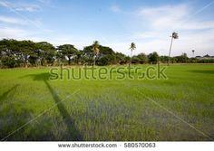 cornfield blue sky and shadow coconut trees