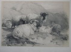 """""""Scotch Mutton"""". Natural History / Sheep Lithograph. Engraver: Ducoles A. Publisher: Tho McLean, 26 Haymarket. Date: 1837."""
