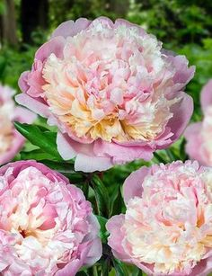 Madame Calot Peonies are Double Flowered & Scented! - ПИОНЫ ТРАВЯНИСТЫЕ