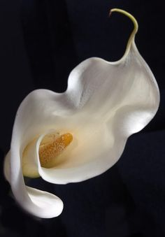 Callas Lily By: Christopher Grant