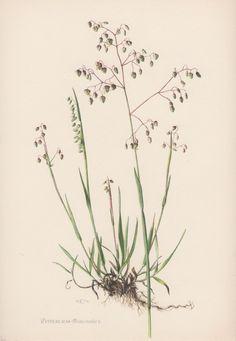 Botanical Print Briza media Quaking-grass by AntiquePrintGarden