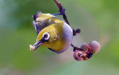 Burungnya.com – Menu makanan burung Pleci sangat beragam, mulai dari biji-bijian, serangga, kroto, cacing tanah, voer, hingga buah dan sayur.