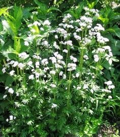 Valerian root helps naturally with insomnia and sleep disorders without side effects