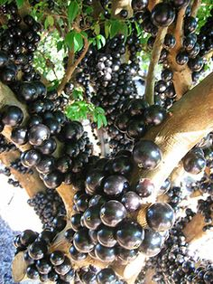 Jabuticaba tree in full fruit... Brazilian Grape Tree