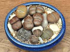 Lithops - living stone succulent