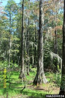 The Pondcypress - Taxidium ascendens is a very large deciduous tree that can reach heights of over 100 feet and live to be over 500 years. Nature Meaning, Evergreen Trees, Deciduous Trees, Growing Tree, Green Leaves, Pond, Meet, Planting, Water Pond