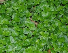 You Need Gardening Insurance For Anyone Who Is A Managing A Gardening Organization Yerba Buena, Satureja Douglasii Is A Beautiful Flat Green Ground Cover That Smells Good And Some Use As Tea. Drought Resistant Plants, Drought Tolerant Landscape, Evergreens For Shade, Shade Evergreen, Yarrow Plant, California Native Garden, Green Ground, Ground Cover Plants, Herbaceous Perennials