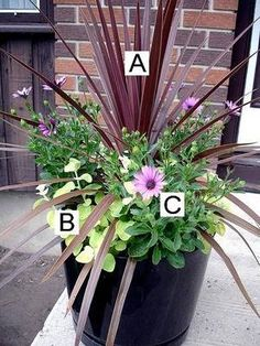 Container Flower Gardening Ideas: A = Red Cordyline B = Lambs Ear C = Soprano Purple Osteospermum: Container Flower Gardening Ideas: Red Cordyline, Licorice Plants, Soprano Purple Osteospermum We love this display because it has a great variety of shapes.