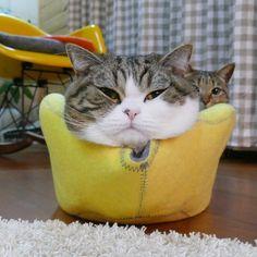黄色い猫ベッドとまるとはな。 The yellow cat bed and Maru&Hana.