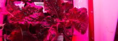Six red romaine lettuce plants are now growing simultaneously on the International Space Station, where a leafy harvest can now take place every 10 days.