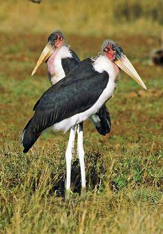 El marabú africano (Leptoptilos crumeniferus) Este marabú es natural de África. La distribución de esta ave abarca la mayor parte de África al sur del desierto de Sahara.