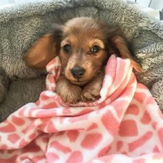 What A Sweet Little Baby . What A Sweet Little Baby Dachshund ( Dapple Dachshund, Dachshund Puppies, Dachshund Love, Cute Dogs And Puppies, I Love Dogs, Cutest Dogs, Daschund, Long Haired Dachshund, Puppy Images
