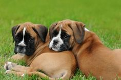 The dog in world: Boxer dogs