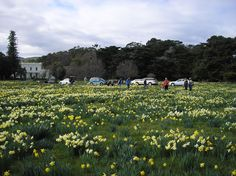 Thousands and thousands of daffodils Daffodil day in Carterton