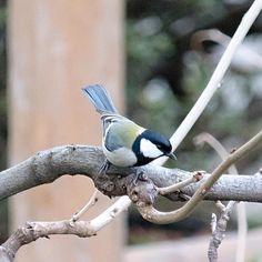 男の子かな  #シジュウカラ#greattit#四十雀#japanesetit #鳥#bird#野鳥#Wildbird#birdwatching #小鳥#pocket_birds #動物#animal #かわいい#kawaii#cute #風景#自然#景色#picture#landscape#nature #東京#tokyo#日本#japan#love#loves_nippon #写真好きな人と繋がりたい #一眼レフ