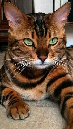 Great Pics Bengal Cats cute Concepts let's talk about exactly what is really a Bengal cat. Bengal kittens and cats really are a pedigree kind . Cute Cats And Kittens, Cool Cats, Kittens Cutest, Ragdoll Kittens, Tabby Cats, Pretty Cats, Beautiful Cats, Animals Beautiful, Animals And Pets