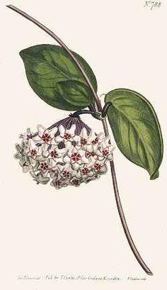 Wax Plant, Wax Flower, Porcelain Flower (Hoya  carnosa)